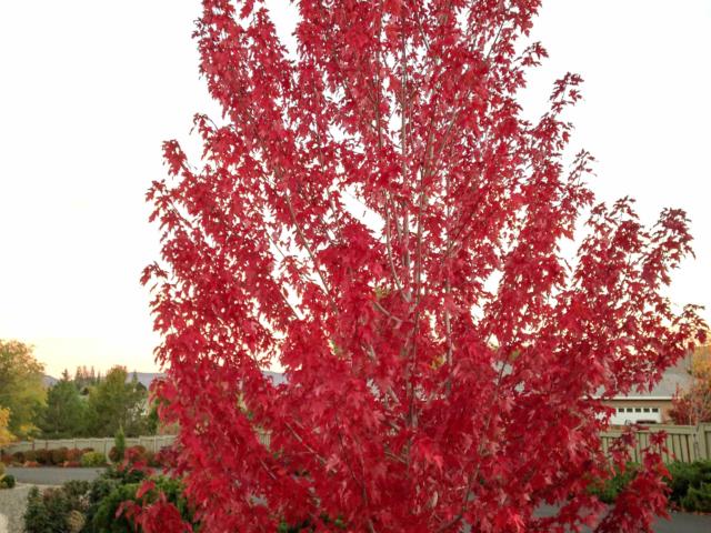 Fall colors - maple orange tree leaves